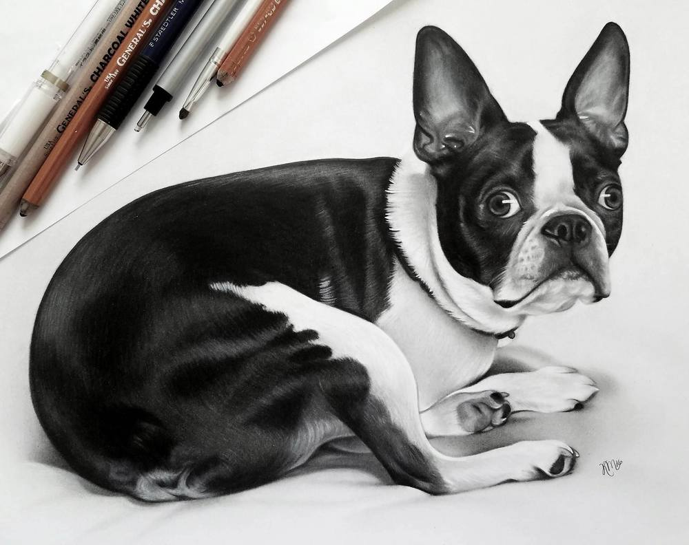 Domino the Boston Terrier