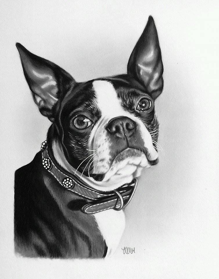 Mattie the Boston Terrier