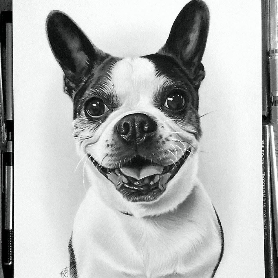 Gavin the Boston Terrier