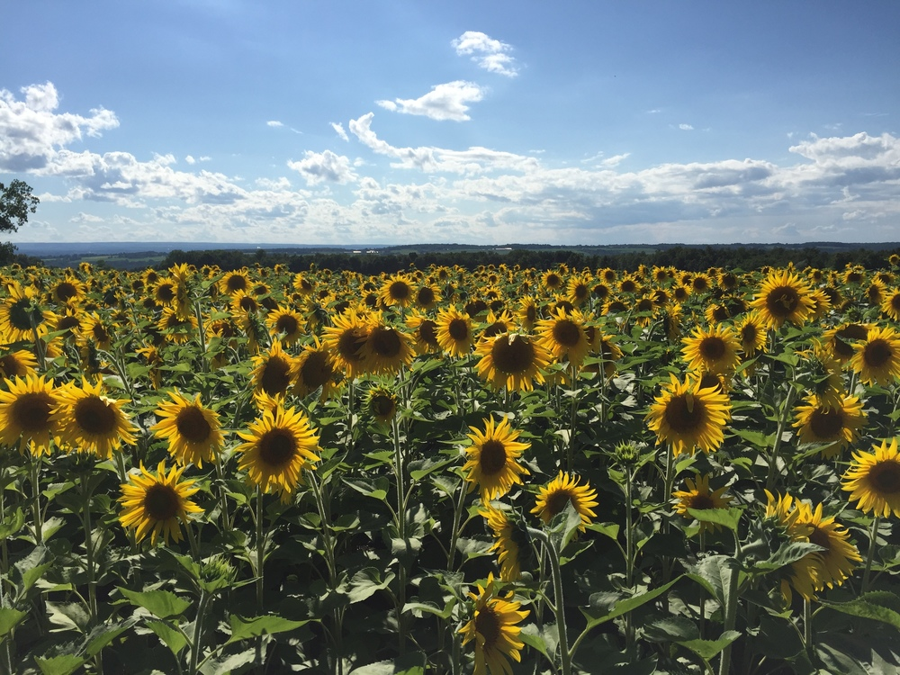 Sunflower Fields.jpg
