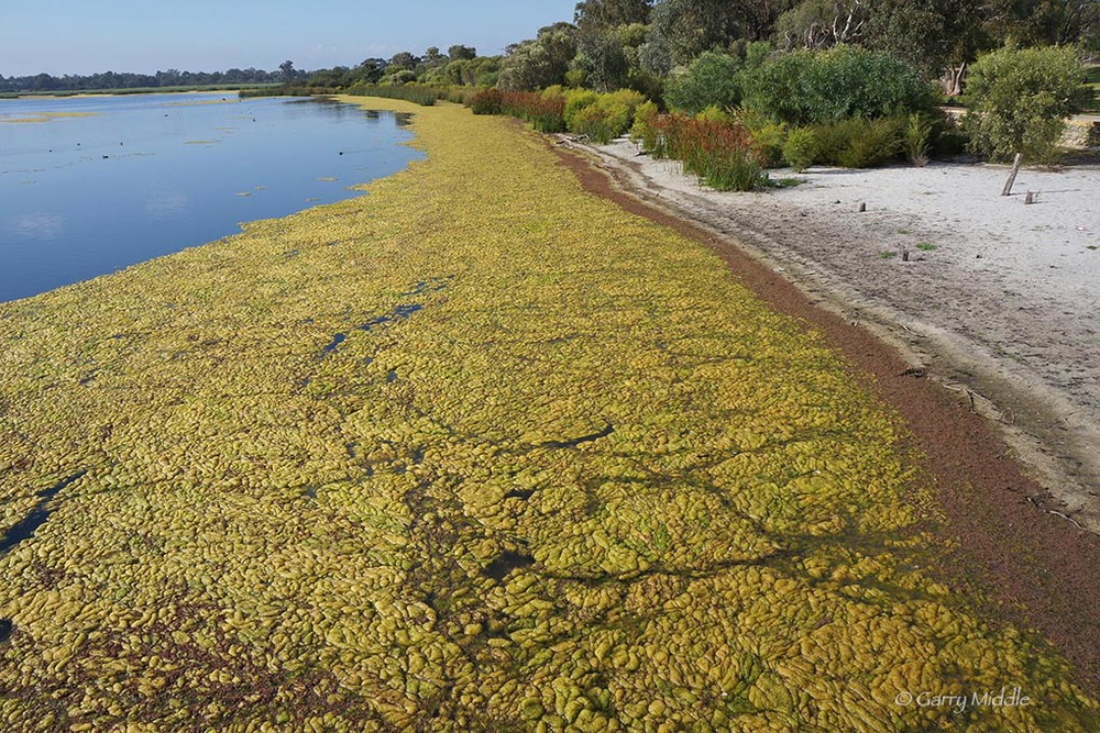Plate 4:  Algal bloom in Bibra Lake caused by excess nutrients