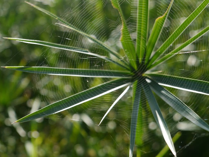 Umbrella Sedge