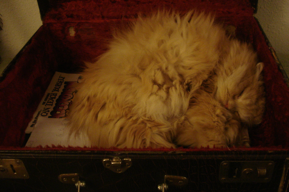 Simon the Cat, cuddling up in my accordion case.