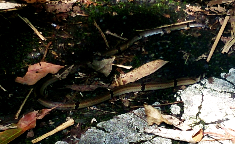 A dead kukri snake near the entrance of the Wulai - Sanxia path. Sadly an endangered species.
