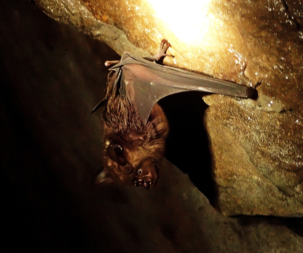 A Taiwan leaf nosed bat in Huaxin Mine