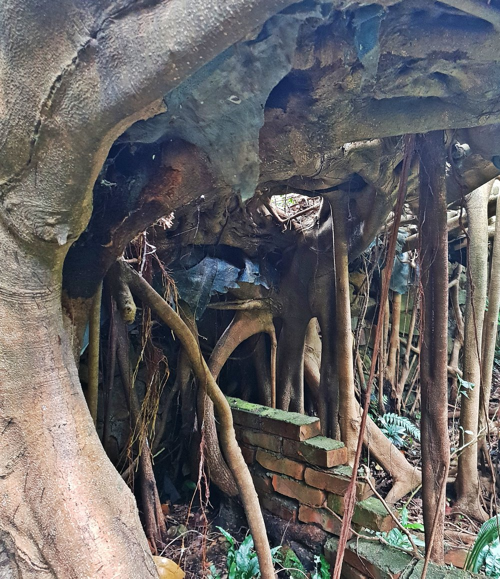 Massive contorted banyan
