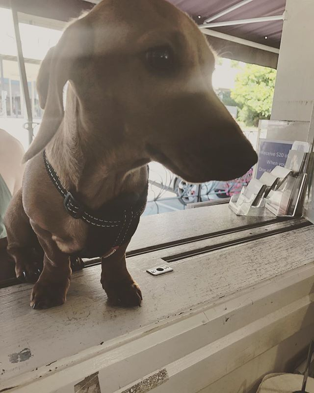 We got to meet Sonic the Speedy Sausage this morning! A 20 week old snoz that was happy for pats!❤️ #sausagedog #daschund #puppy #daschundpuppy #dog #dogfriendlycafe #coffee #morning #saturday #brisbane #brisbanecafe #buydesignatclayfield