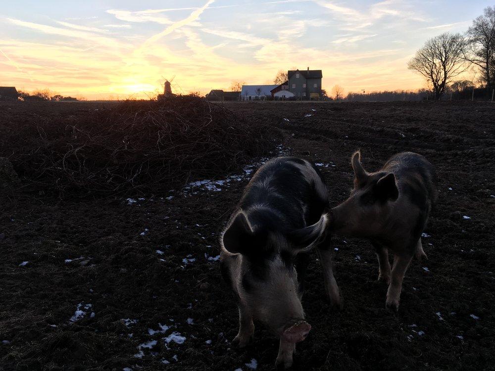 Vingårdsgrisar som bökar marken där vi ska plantera vinrankor