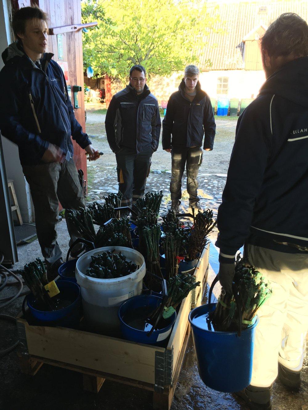 Förbereder plantor till vårt testfält med 21 olika sorter