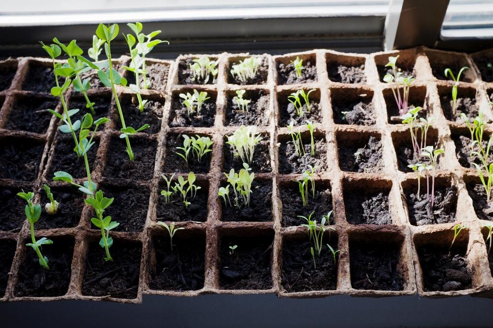 Seedlings at 13 Days
