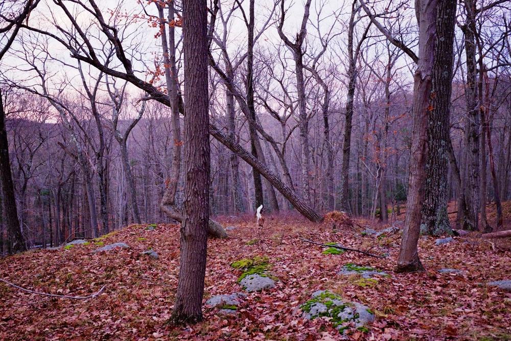 White Tailed Doe Harriman State Park NY