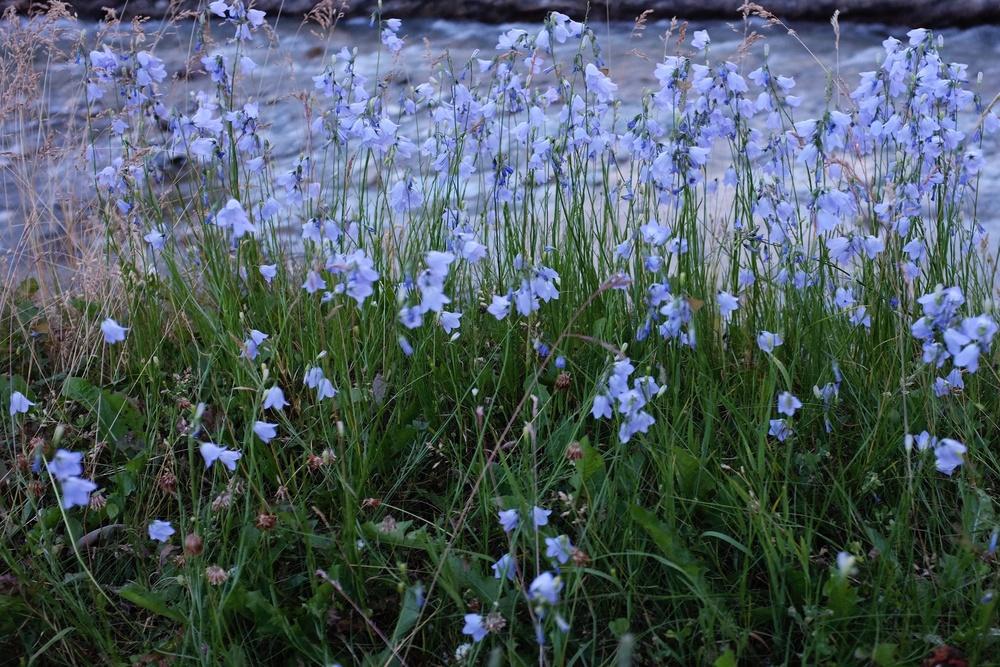 Violet Flowers by Waterton Lake