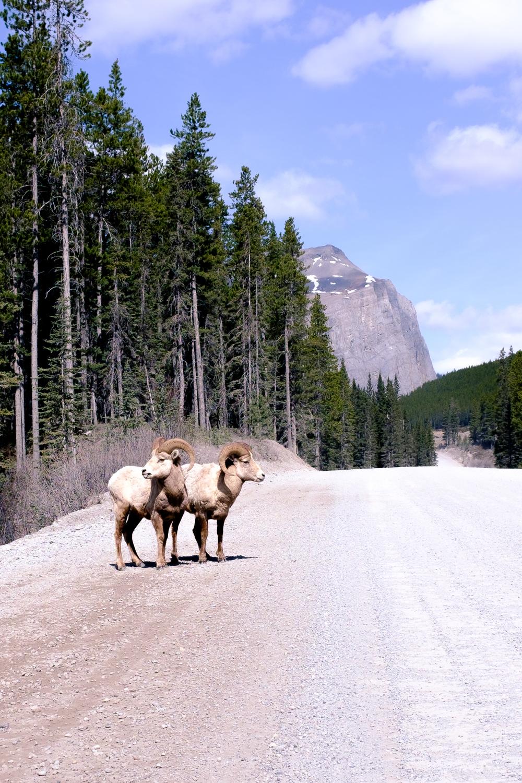 Big Horn Sheep - Peter Lougheed Provincial Park, Alberta