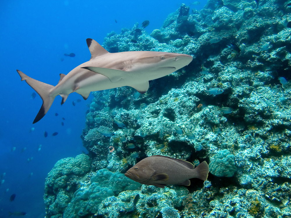 BlackTip Reef Shark (2).jpg