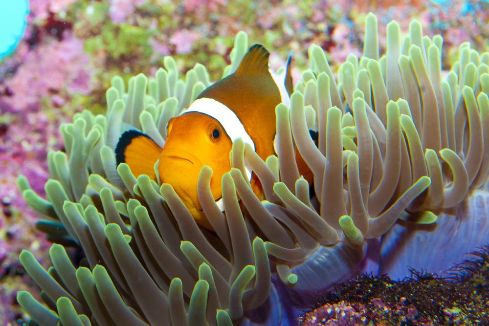 Clownfish (6).jpg