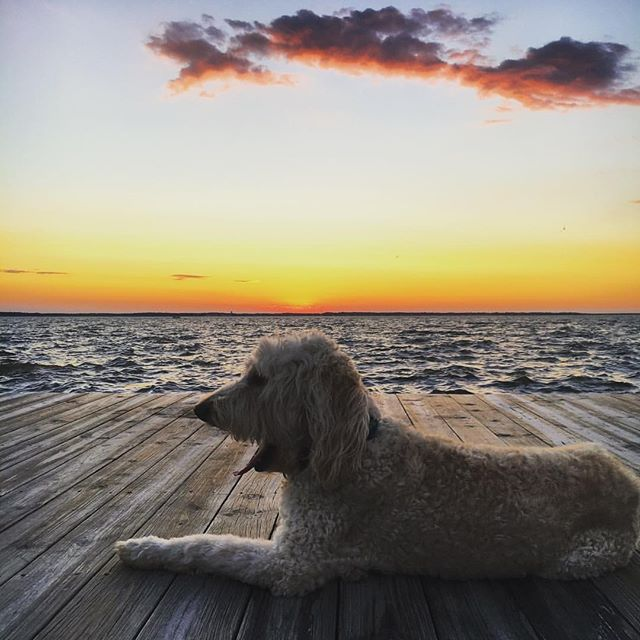 Monday should be optional. So I'm just going to pretend it's still Sunday and chill! . . . #maggiewisdom #mondaymotivation #mondayfunday #sunset #ocmd #labradoodle #doodle  #photography #sittingonthedockofthebay