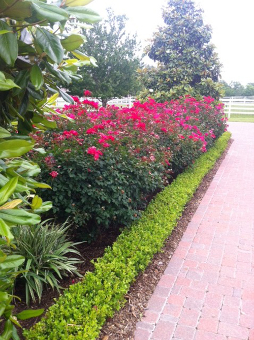 Landscape-design-knockout-roses-boxwood-pavers-the-woodlands-cypress-spring-envy-exteriors-installation.jpg
