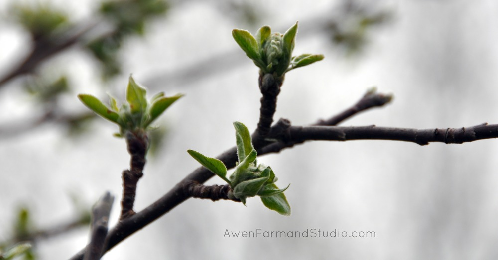At least one of our apple trees is starting to bud.