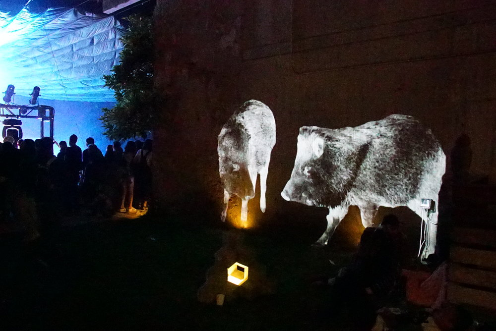 javelina projection art ecoart wildlife music FORM festival animal video projection