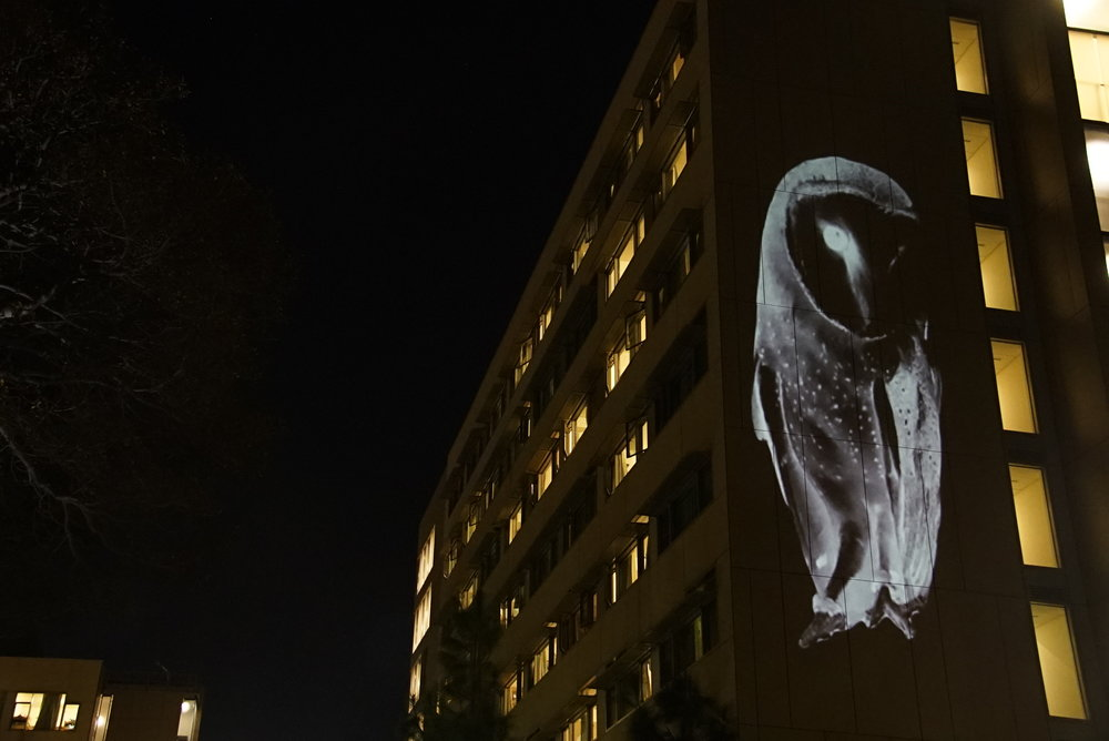 barn owl projection art ucla ecoart video wildlife animal projection public temporary art