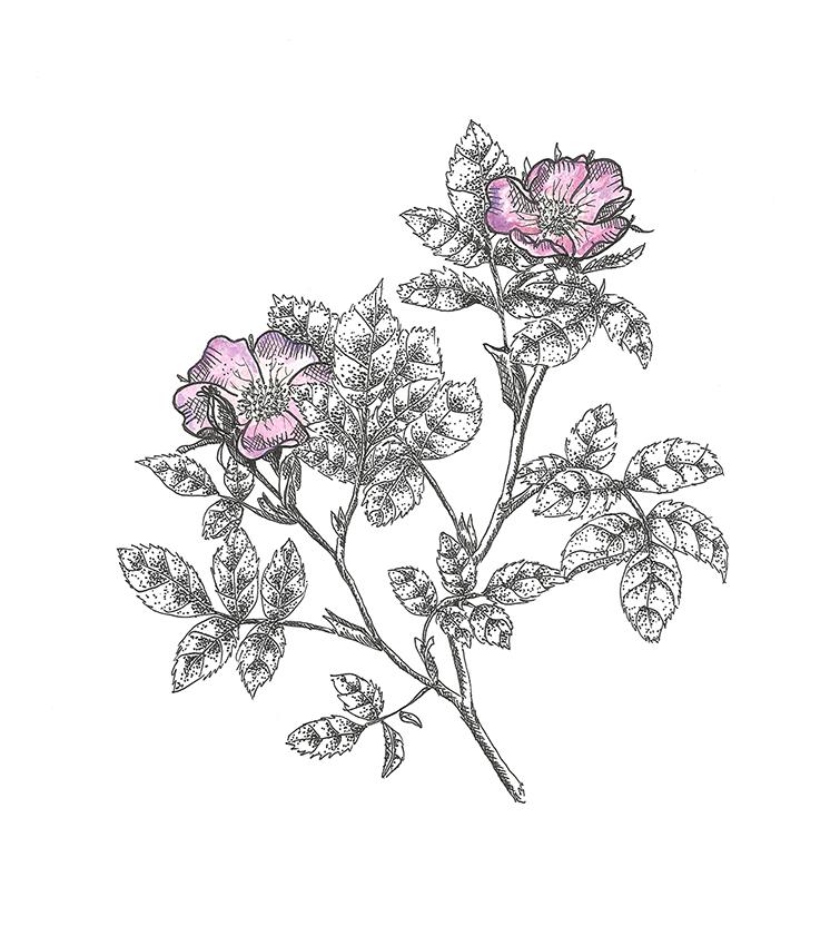 wild roses color 100dpi.jpg