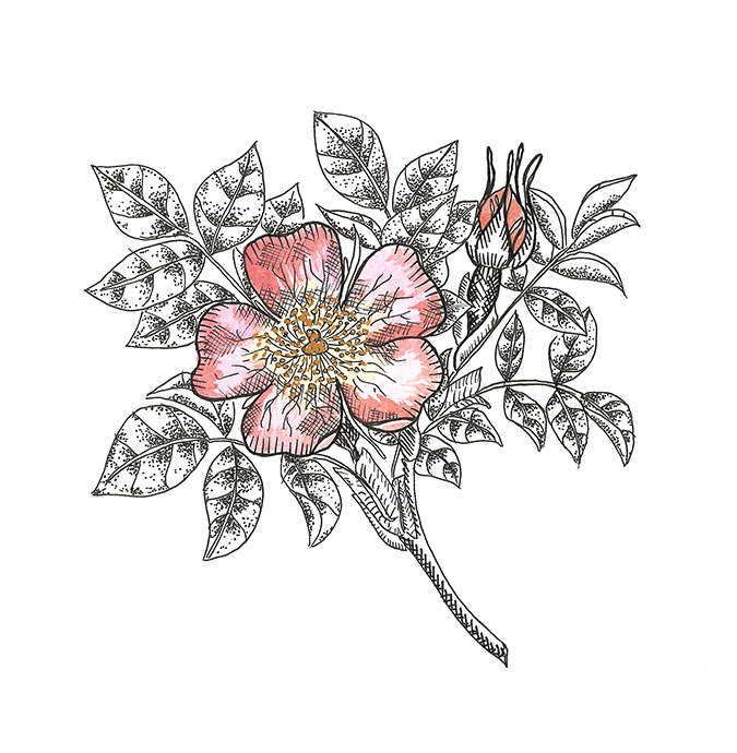 wild rose color 100dpi.jpg