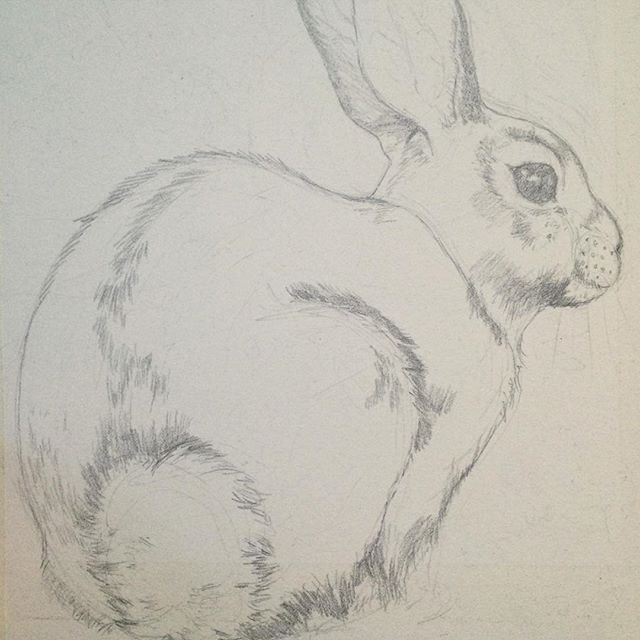 Cottontail rabbit drawing #wip #painting