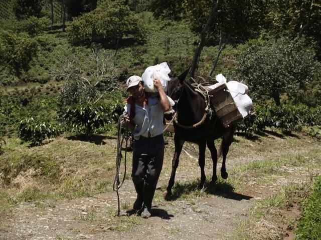 Transporte de cafe con mula.jpg