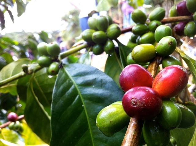 Cherry, La Unión, Nariño.jpg