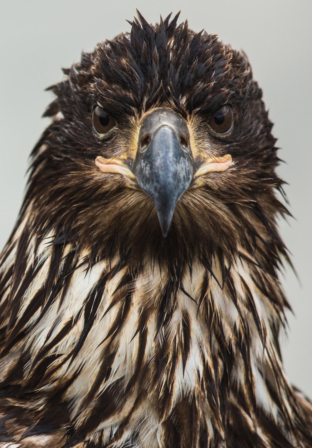Juvenile Bald Eagle || Alaska
