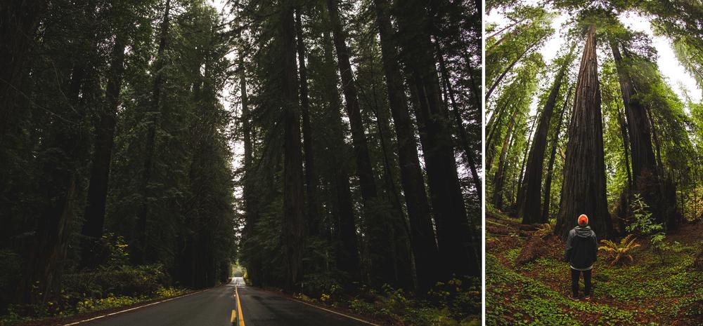 RedwoodsDipdick2.jpg
