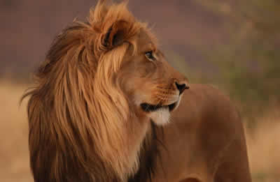 lion-profile.jpg