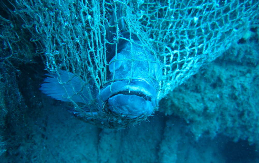 A grouper never found its way out of an abandoned fishing net lost at sea.