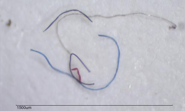 About 1900 of these fibers can be rinsed off a single synthetic garment.