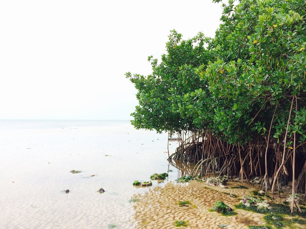 Mangroves protect this small, uninhabited island in Biscayne Bay from storm surge and erosion. They also collect trash and marine debris, which can be eaten by juvenile fish.