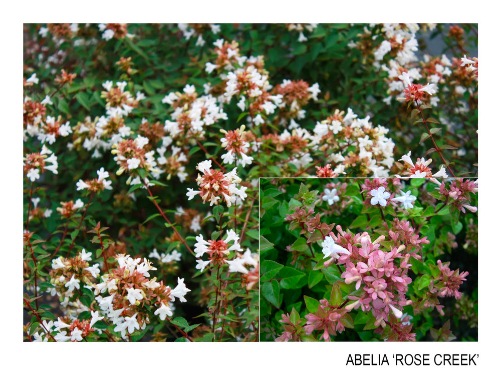 abelia rose creek.jpg