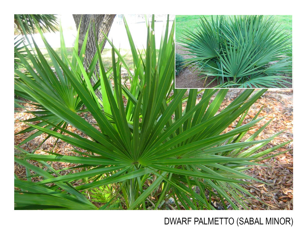 dwarf palmetto.jpg