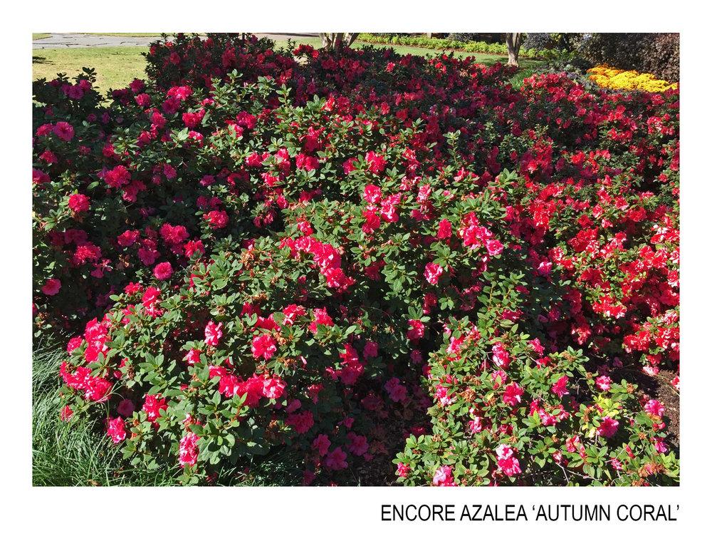 encore azalea autumn coral.jpg