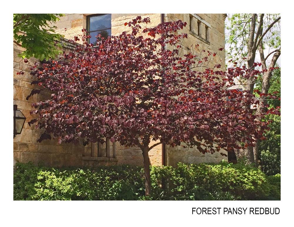 forest pansy redbud.jpg