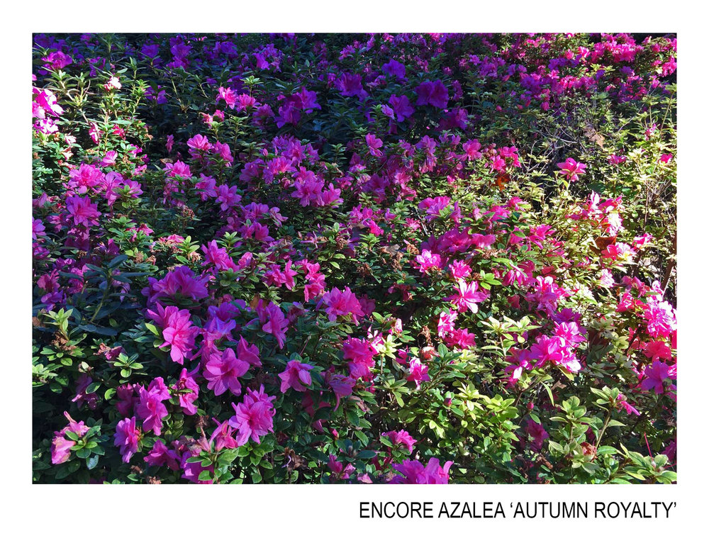 encore azalea autumn royalty.jpg