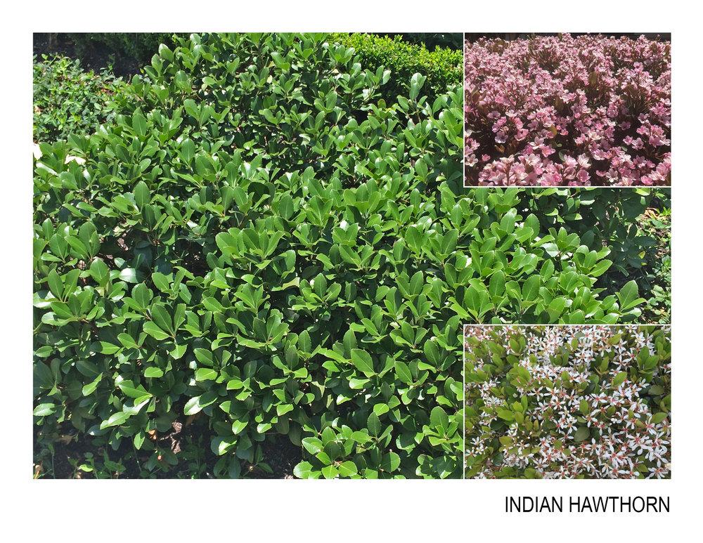 indian hawthorn.jpg