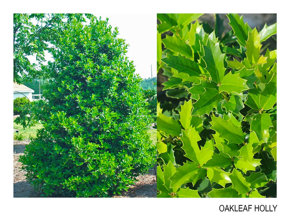 oakleaf holly.jpg