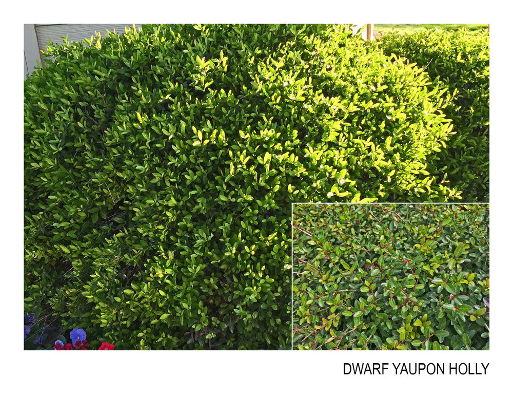 dwarf yaupon holly.jpg