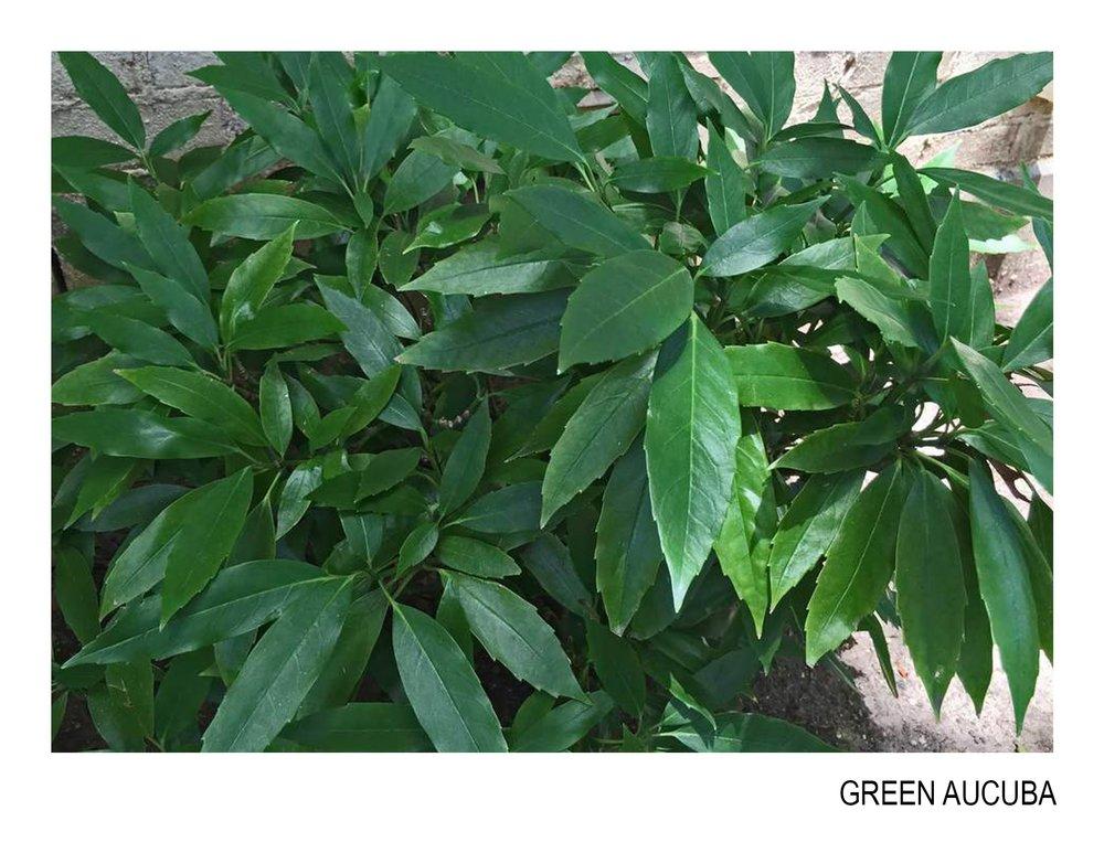 green aucuba.jpg
