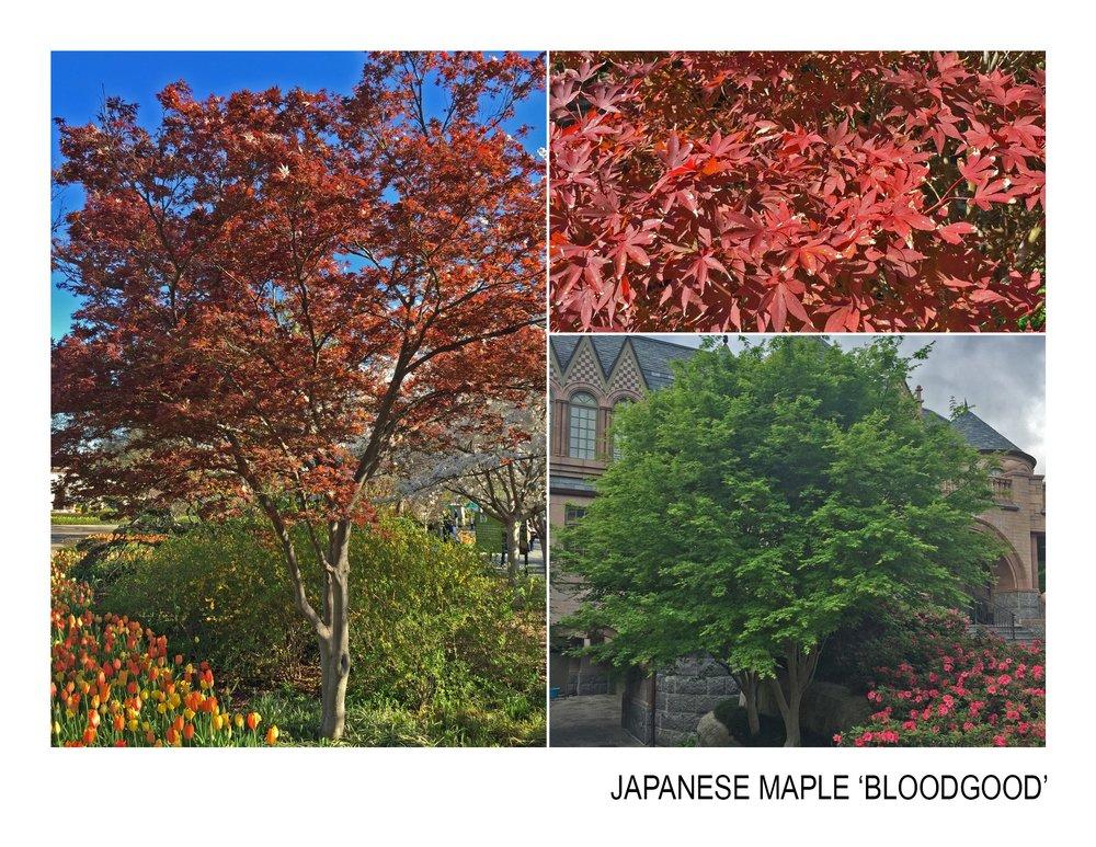 japanese maple 'bloodgood'.jpg