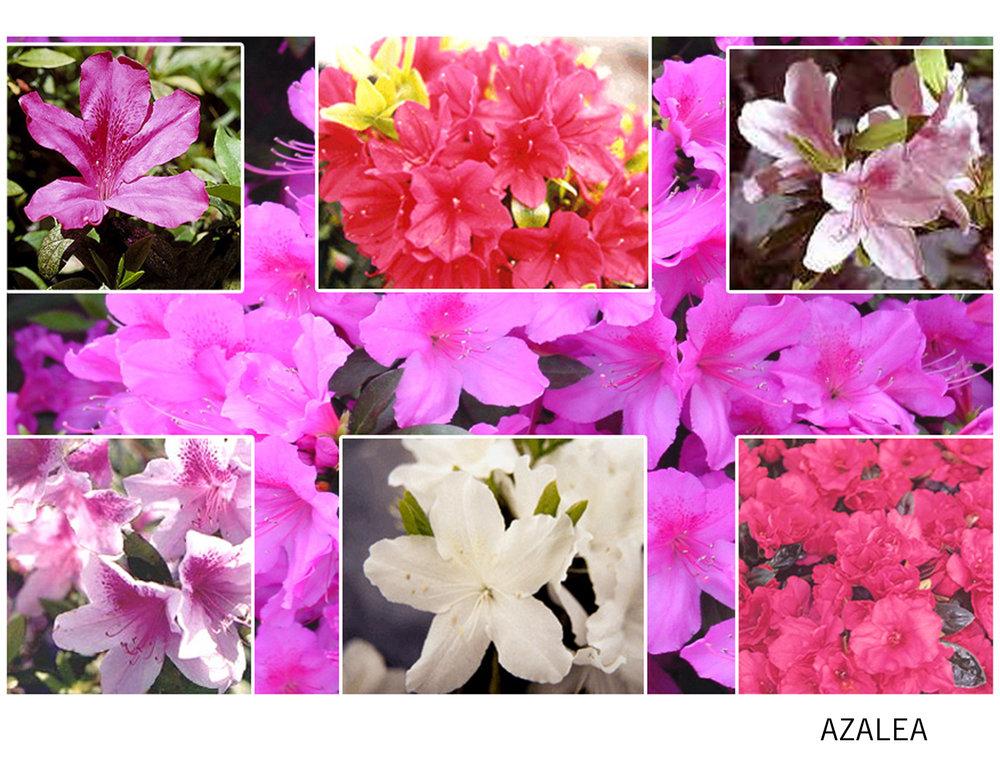 Azalea.jpg