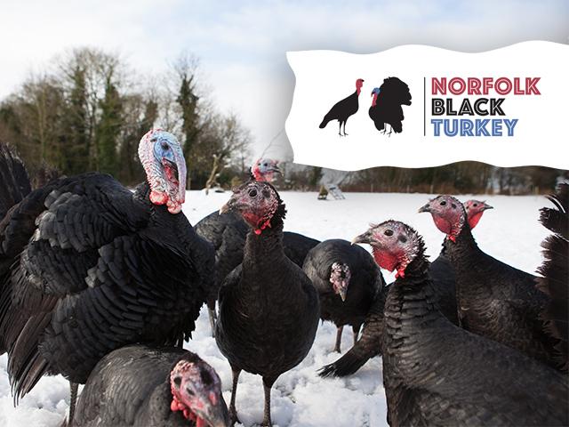 Norfolk Black Turkey