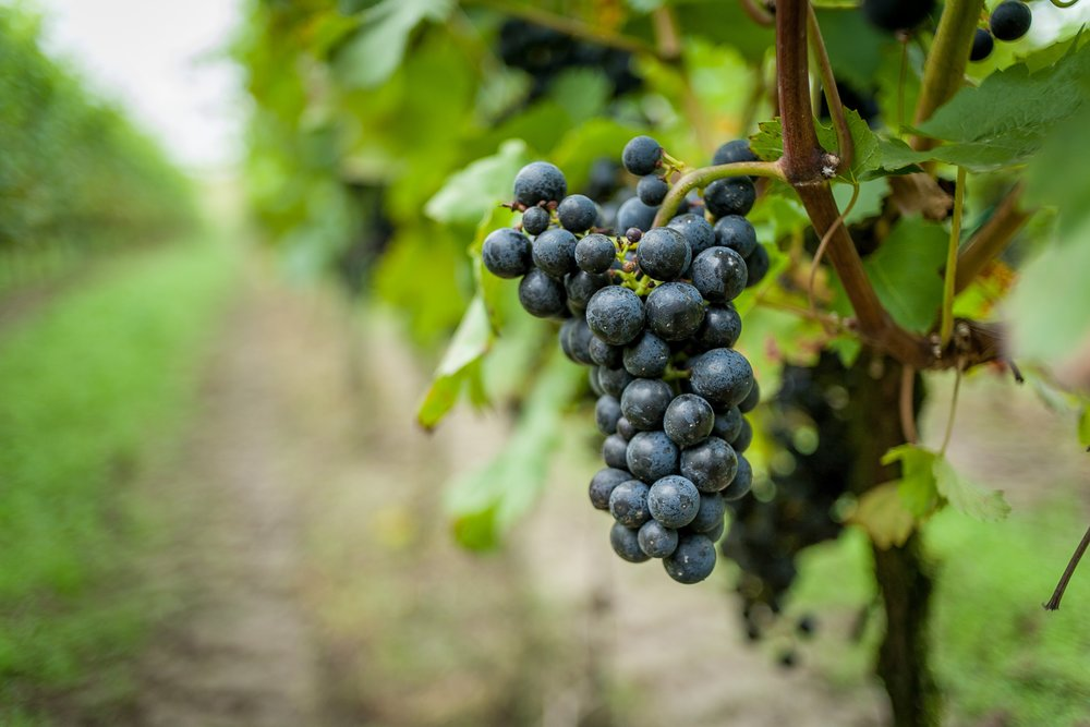 grape-grapes-grapevine-701557.jpg