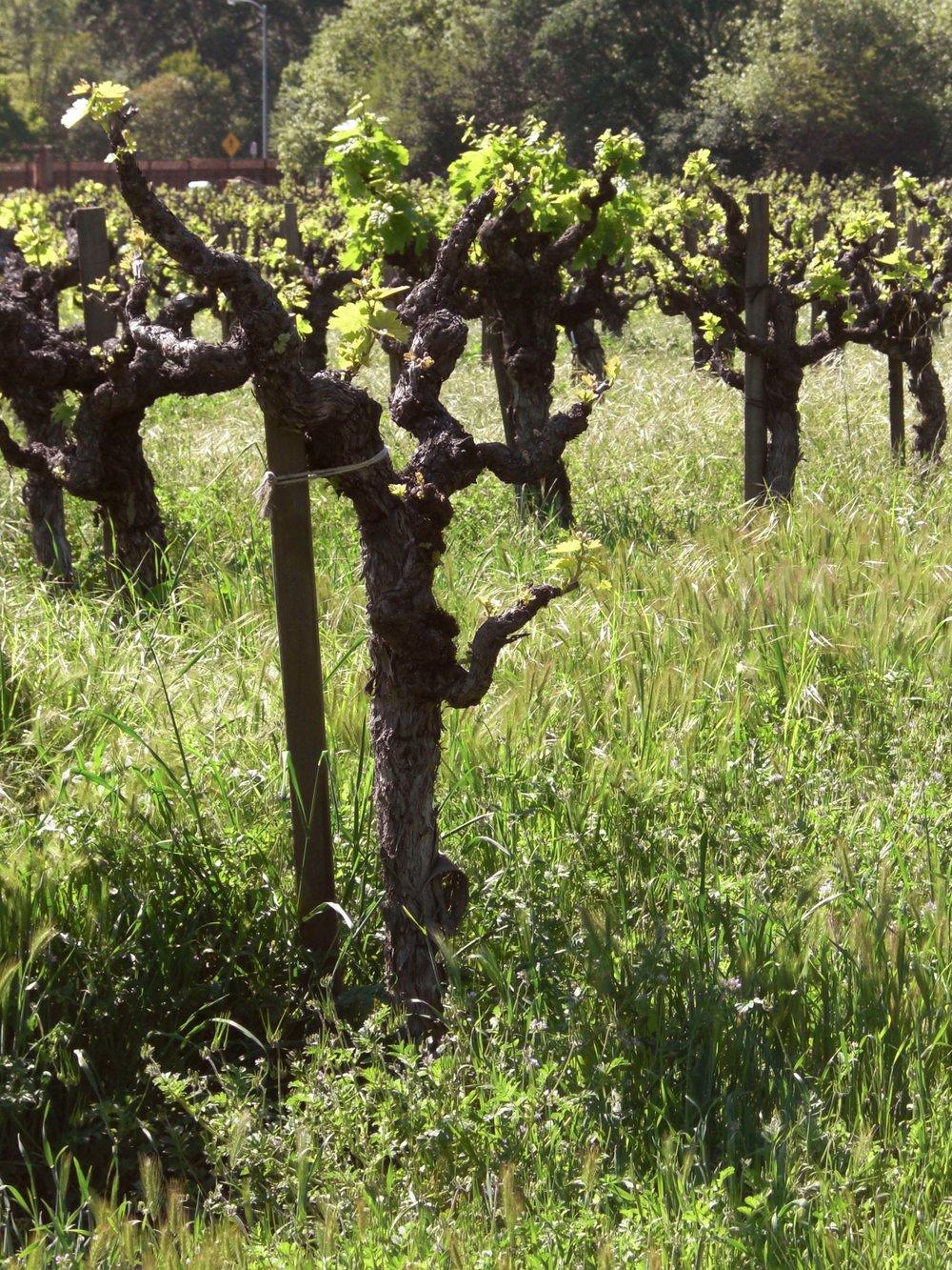 grapevines.jpg