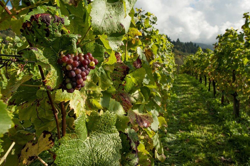 farm_fruits_grapes_grapevines_leaves_vineyard-1049727.jpg!d.jpeg